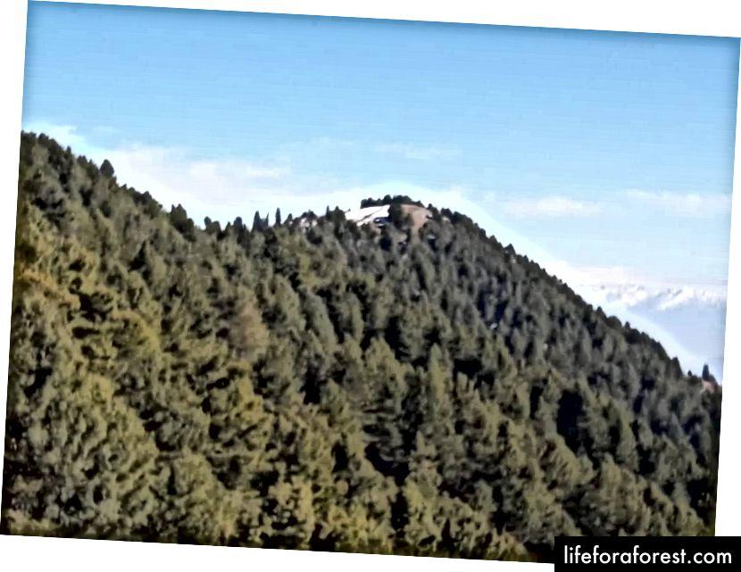 Pines, Pines og mer Pines