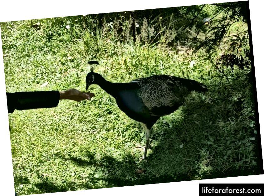 Hình: Staglands, khu bảo tồn động vật hoang dã ở New Zealand, nơi một con công được một người khách cho ăn bằng tay. Nguồn: tài sản gốc của tác giả. Xin vui lòng không sử dụng mà không có sự cho phép bằng văn bản.