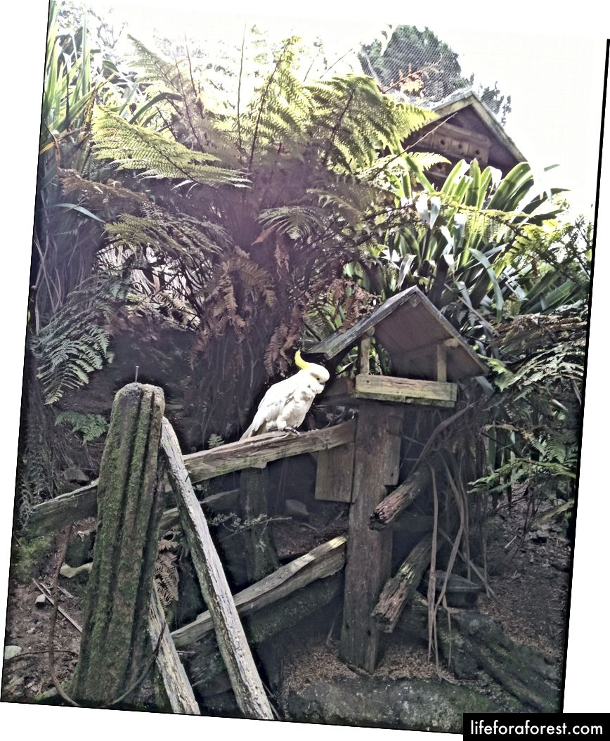 Imej: Staglands, rizab hidupan liar NZ, yang menampilkan burung nuri bercakap putih dan kuning. Sumber: harta pengarang asal. Tolong jangan gunakan tanpa kebenaran bertulis.