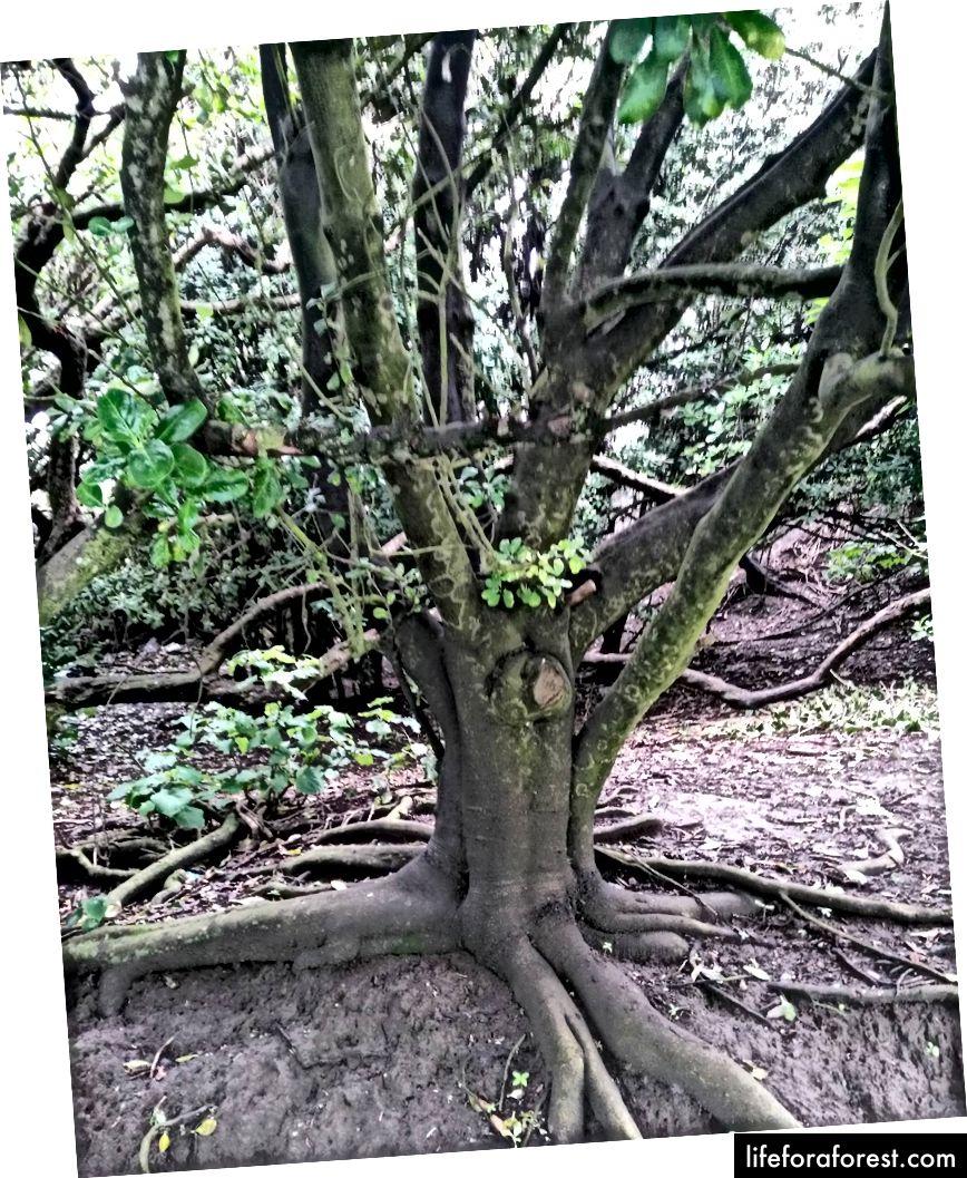 Imej: pokok NZ cawangan yang indah. Sumber: Properti asal pengarang. Tolong jangan gunakan tanpa kebenaran bertulis.