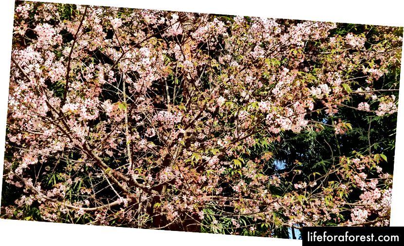 Hoa anh đào ở Shillong