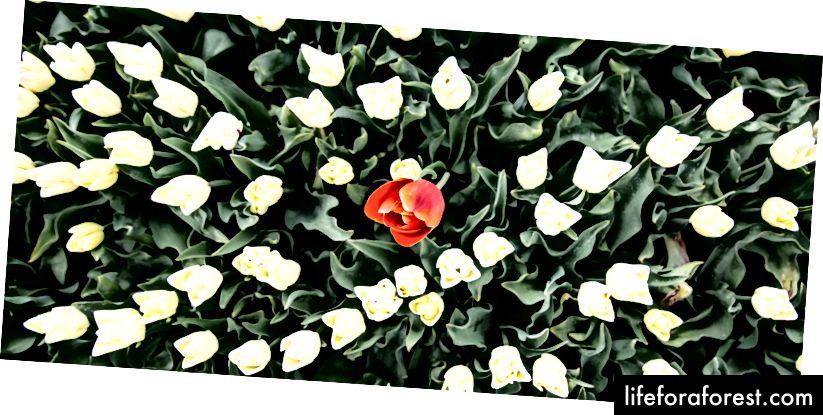 Hoa tulip đơn độc ở Bắc Hà Lan bên ngoài Alkmaar © ChristopherLarson