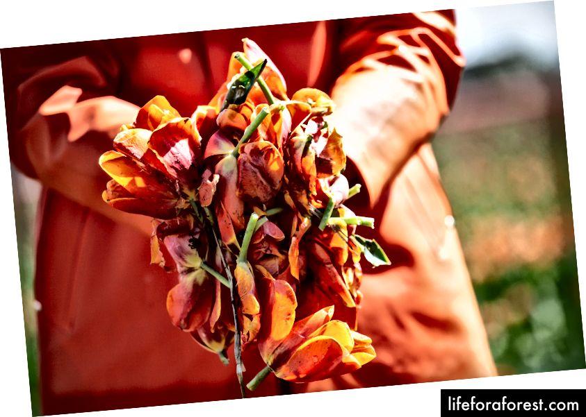 Hoa tulip rơi ở phía bắc Alkmaar © ChristopherLarson