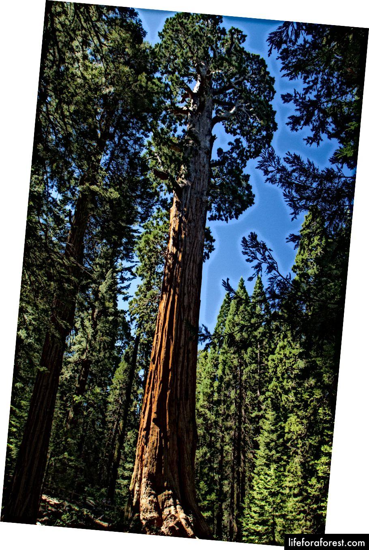 En gigantisk Sequoia i Grant's Grove. Det er vanskelig å få en følelse av skala, men treet var 100+ fot høyt og sannsynligvis 6 fot bredt.