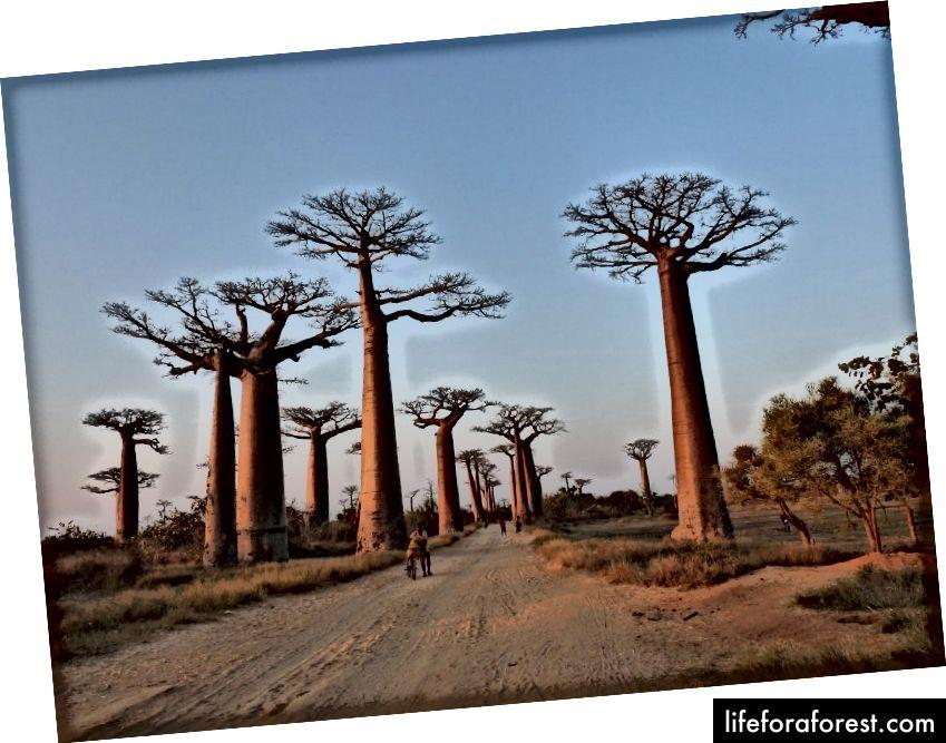 Baobab avenue: Kultovní strom na západě Madagaskaru © WAU Madagaskar