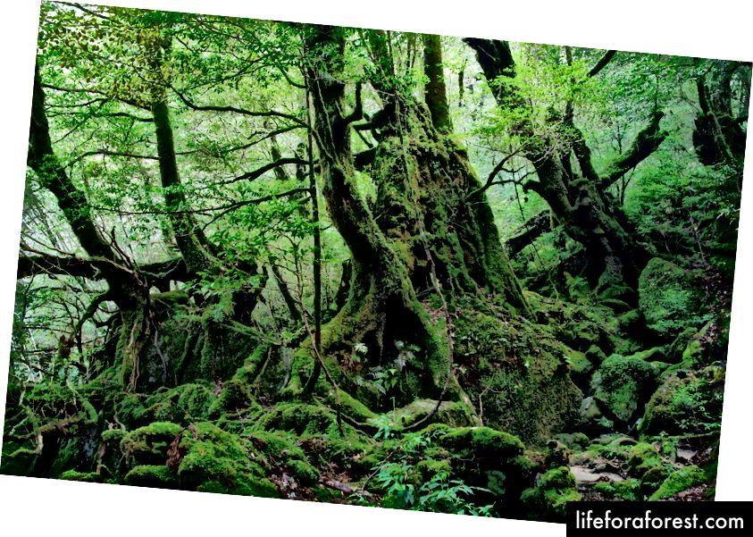 Les v Shiratani Unsui Gorge, Yakushima, Kagoshima. Zdroj obrázku: Σ64 prostřednictvím Wikimedia Commons.
