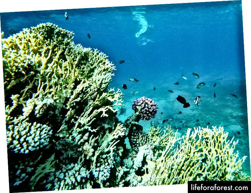 Korallrev i Rødehavet nær Akaba, Jordan. Foto av Simas Rad [CC BY-SA 4.0], via Palmtree.life
