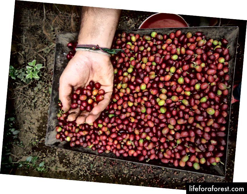 Nabiranje kavnih zrn v Tanzaniji - Photo by Megillionvoices