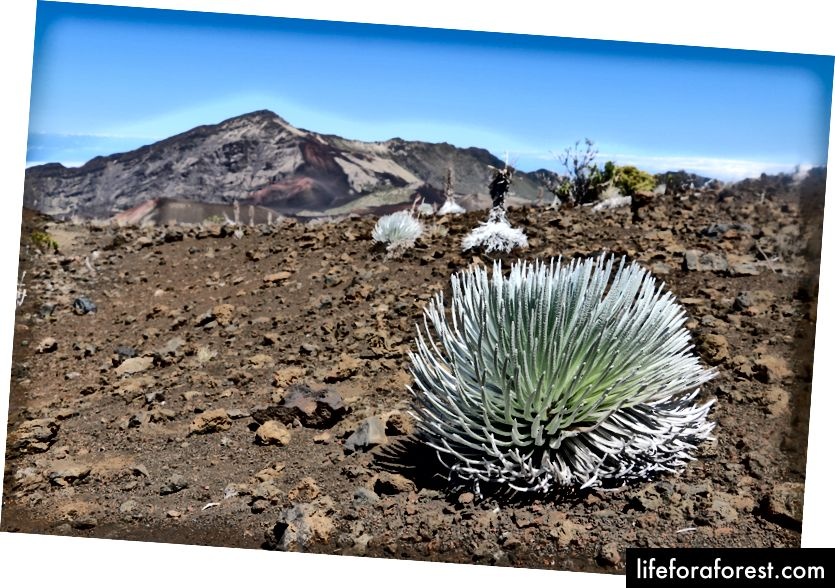 The Silversword (a'hinahina) plant