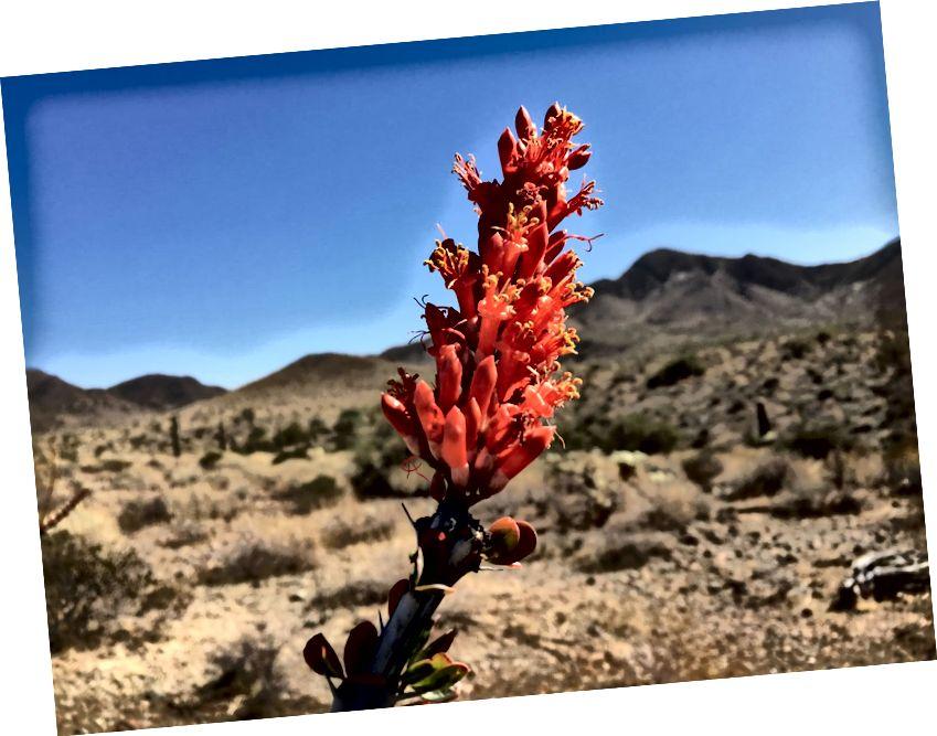 Στην έρημο, έχουμε ocotillos αντί για τριαντάφυλλα. Δεν είναι μια φοβερή φωτογραφία, αλλά ειλικρινά αξίζει, ίσως, 20 λέξεις.