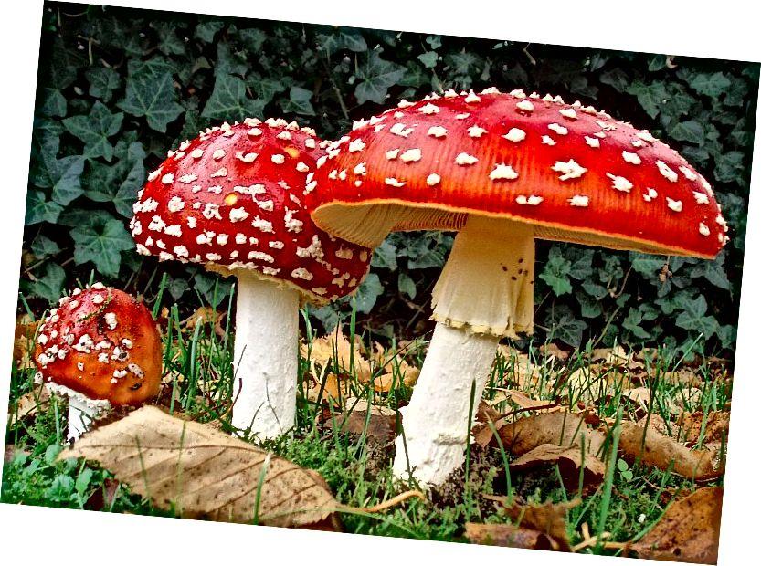Amanita Muscaria, mínusz a vízipipa dohányzó hernyója. Onderwijsgek az nl.wikipedia-n [CC BY-SA 3.0 nl (https://creativecommons.org/licenses/by-sa/3.0/nl/deed.hu)], a Wikimedia Commonsból.