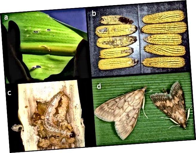 а) пашкоджанне лісця кукурузы еўрапейскім, б) пашкоджанне і грыбковая інфекцыя кукурузы, якая не змяшчае Bt (злева) і кукурузы Bt (справа), в) прыкладу тунэлявання сцеблаў і г) дарослых мужчын і жанчын. Крыніца: Hellmich and Hellmich, 2012.