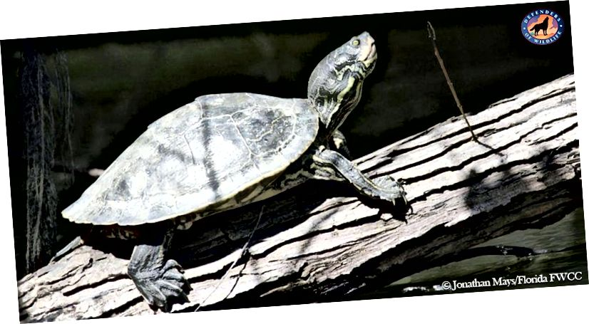 Bārburas bruņurupucis