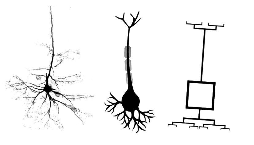 Tre synspunkter på en neuron. Venstre: ægte neuron, calciumafbildning, center: illustration, højre: skematisk.