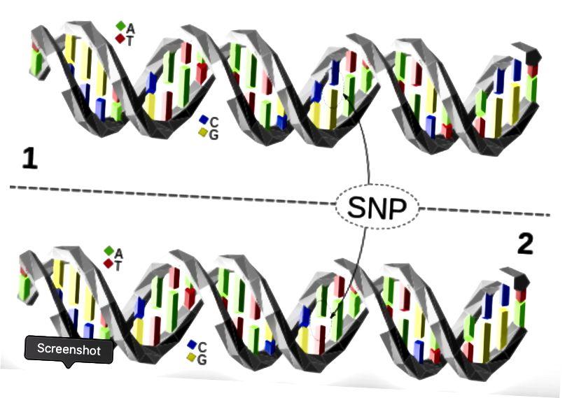 Паліморфізмы адзінкавых нуклеатыдаў (SNPs). (Крэдыт: Дэвід Эклс / CC BY 4.0)