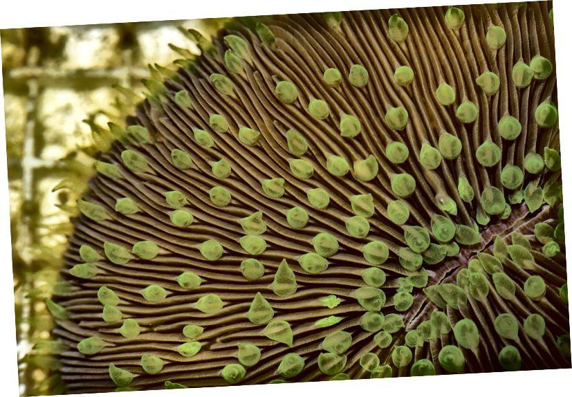 Znanstvenici Instituta za očuvanje biologije Smithsonian (SCBI) prvi put su uspješno krio konzervirali (ili smrznuli) i odmrzli ličinke koralja iz koralja gljiva (Fungia scutaria). Foto: Smithsonian