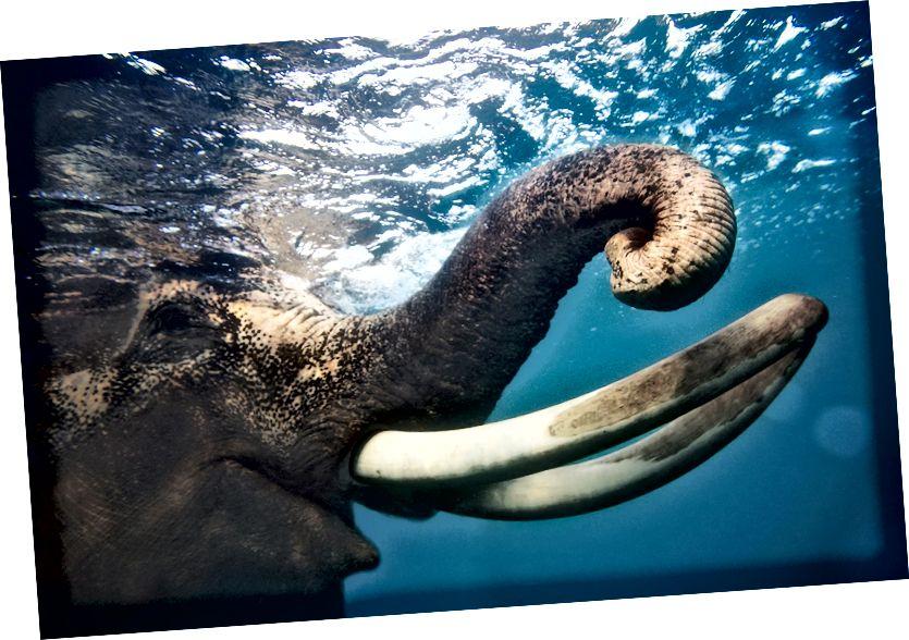 Mamuta aizstājējs tiks izveidots, rediģējot apdraudētā radinieka - Āzijas ziloņa - DNS. (Klaudijas Legge foto)