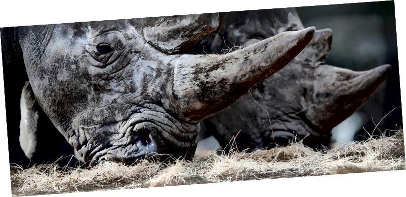Klonimi mund të sigurojë shpresë për rinocerozat e bardha veriore të rrezikuara në mënyrë kritike. Imazhi: REUTERS / Christian Hartmann