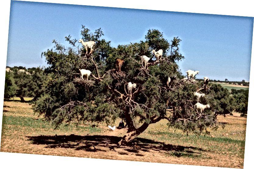 Хатнія козы сядзяць на дрэве аргана (Argania spinosa), на паўднёвым захадзе Марока. (Крэдыт: Yellow Magpie / CC BY-NC 2.0)