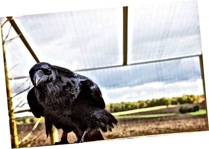Tá fithíní coitianta (Corvus corax) níos ciúine ná leanaí óga, de réir staidéir a rinneadh le déanaí. (Creidmheas: Helena Osvath / Ollscoil Lund)