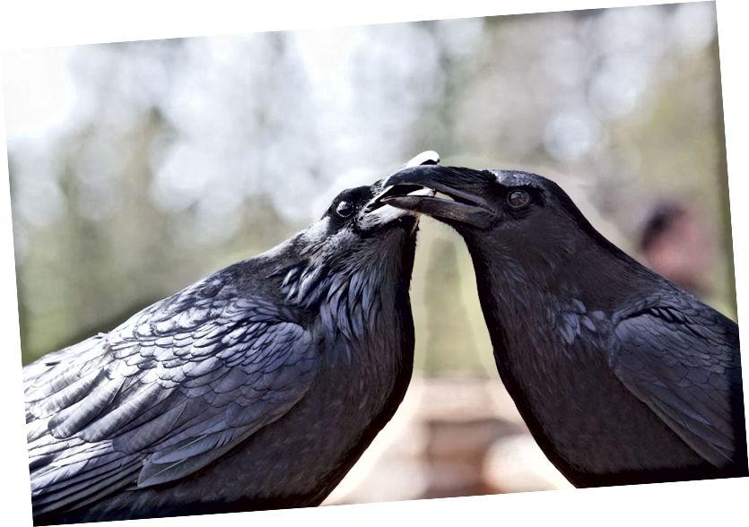 Péire billeála de fhithíní coitianta (Corvus corax). Is iompar nascáil péire é billeáil a fheictear i roinnt speiceas éan. (Creidmheas: Marlin Harms / Creative Commons Attribution 2.0 Ceadúnas cineálach.)