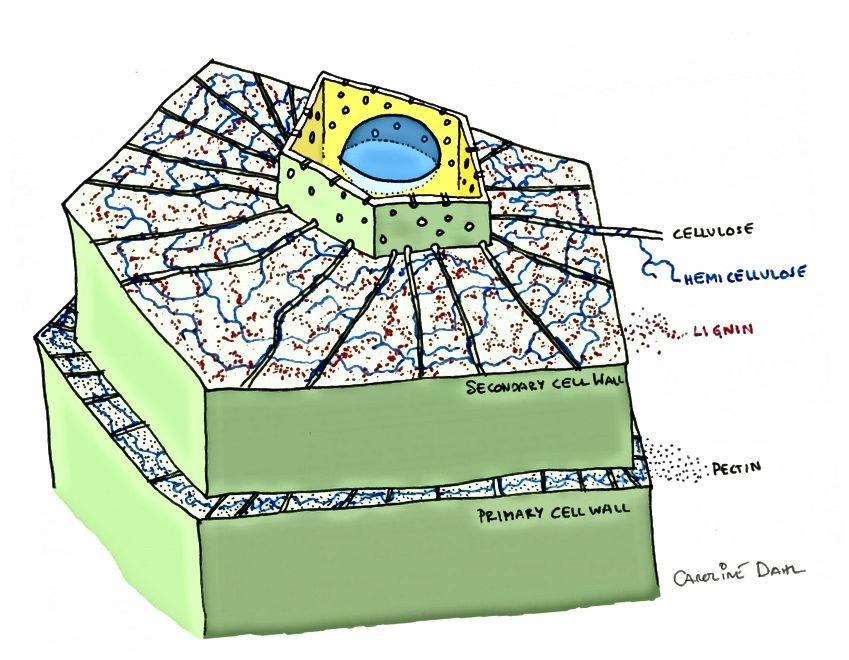 Ein Modell einer Pflanzenzelle mit primären und sekundären Zellwänden. Ohne Bor würden Pflanzenzellwände nicht existieren. Bildnachweis: Caroline Dahl, unter einer cca-sa-3.0-Lizenz.