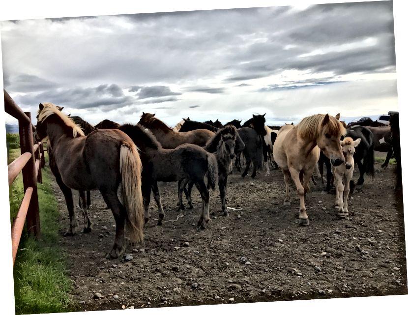 Islandske kobile i ždrebice - srpanj 2017. - Foto od Ali