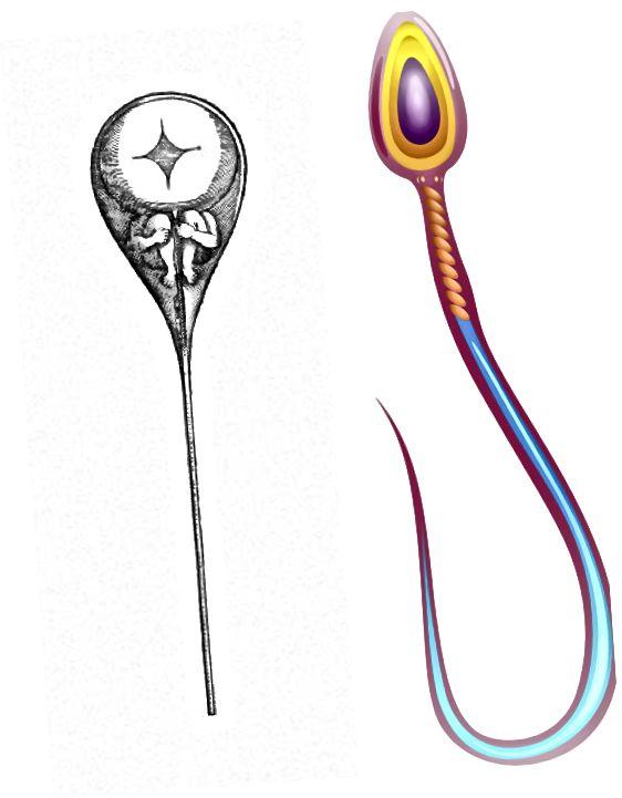 Ένα σχέδιο του 17ου C. ενός σπέρματος έναντι ενός σύγχρονου