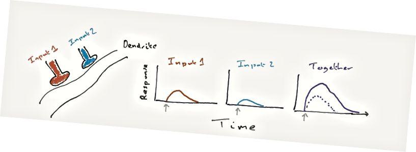 """Die zwei farbigen Blobs sind zwei Eingänge für ein einzelnes Bit Dendrit. Wenn sie einzeln aktiviert werden, erstellen sie jeweils die angezeigten Antworten, wobei der graue Pfeil die Aktivierung dieses Eingangs anzeigt (Antwort bedeutet hier """"Spannungsänderung""""). Bei gemeinsamer Aktivierung ist die Antwort größer (durchgezogene Linie) als die Summe ihrer einzelnen Antworten (gepunktete Linie)."""