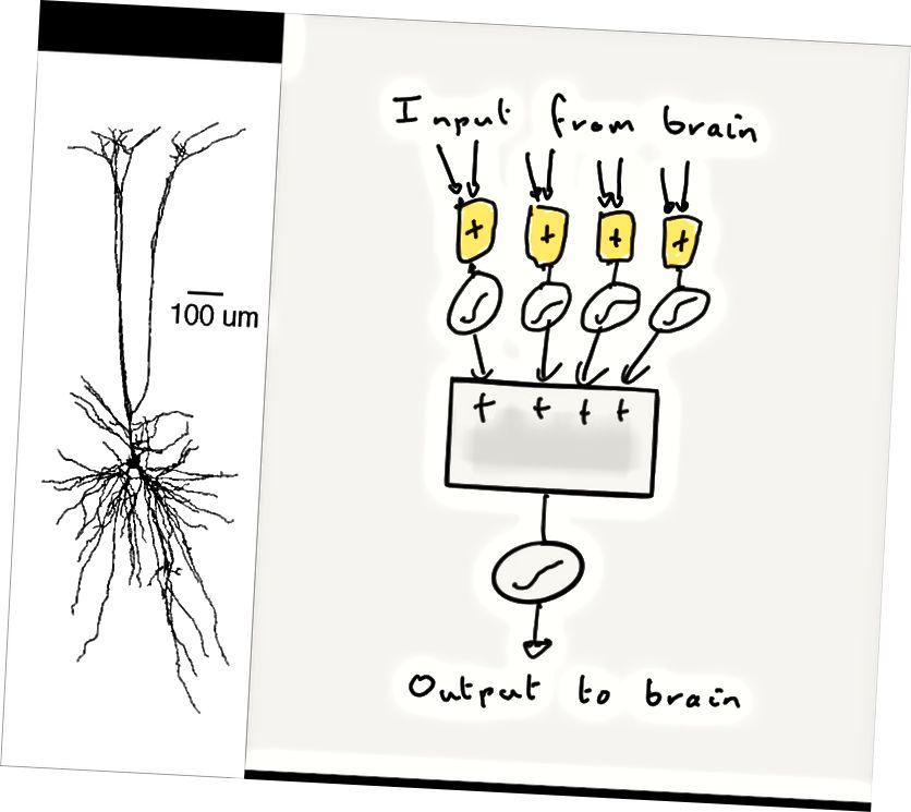 Links: Ein einzelnes Neuron hat viele dendritische Zweige (über und unter seinem Körper). Rechts: Es handelt sich also um eine Sammlung nichtlinearer Summationsgeräte (gelbe Kästchen und nichtlineare Ausgänge), die alle an den Körper des Neurons ausgegeben werden (grauer Kasten), wo sie summiert werden. Ähnlich aussehend?