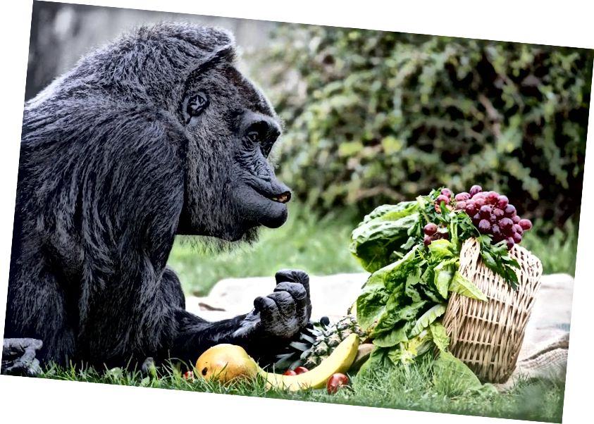 """Женската горила Фату, най-старата горила в Европа, седи пред настояща кошница с различни видове плодове на 60-ия си рожден ден в зоопарка (""""Zoologischer Garten"""") в Берлин, Германия, 13 април 2017 г. Фату е живяла в зоологическа градина от 58 години и има свои собствени предпочитания към предмети и храни, които са многостранни. (KAY NIETFELD / PICTURE ALLIANCE VIA GETTY IMAGES)"""
