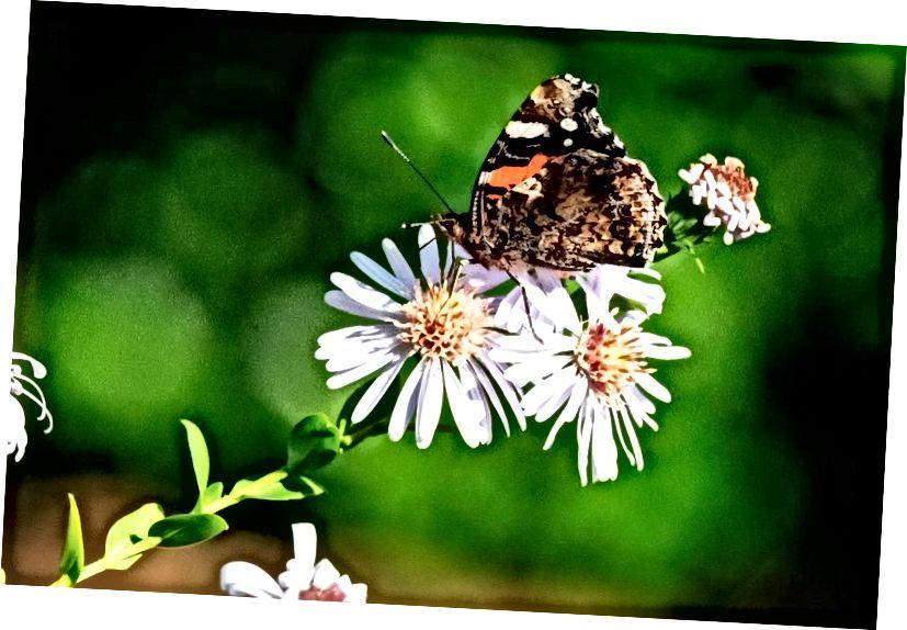 Снимка, направена на 15 октомври 2018 г. в Saint-Philbert-sur-Risle, Северна Франция, показва пеперуда Ванеса Аталанта на цвете. Пеперудите са едно от насекомите, които демонстрират най-силните предпочитания за цвят, познати в природата. (JOEL SAGET / AFP / GETTY IMAGES)