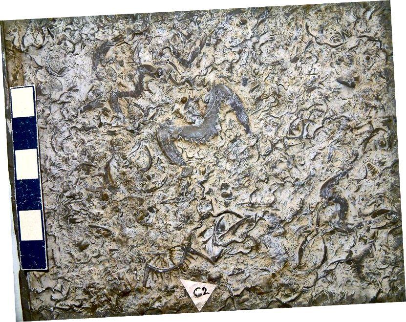 Trilobita menjadi fosil di batu kapur, dari Field Museum di Chicago. Semua organisme yang masih ada dan memfosil dapat memiliki garis keturunannya ditelusuri kembali ke nenek moyang bersama universal yang hidup sekitar 3,5 miliar tahun yang lalu. (JAMES ST. JOHN / FLICKR)