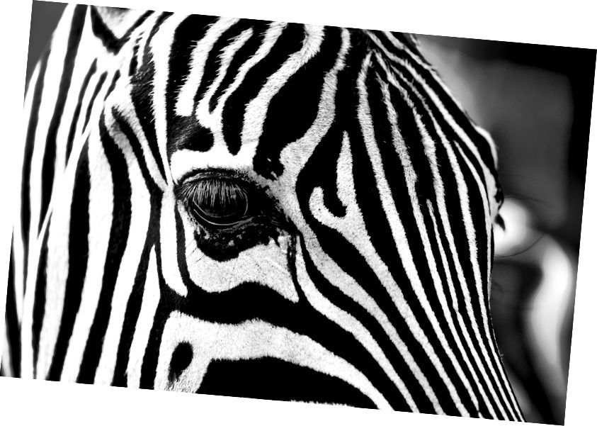 Nel corso dei secoli, ci sono state molte spiegazioni sul perché le zebre hanno strisce e i cavalli no. (Credito: Igorowitsch / CC0)