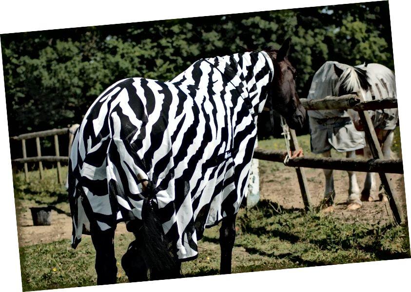 Un cavallo scuro con un cappotto a strisce. (Credito: Tim Caro.)