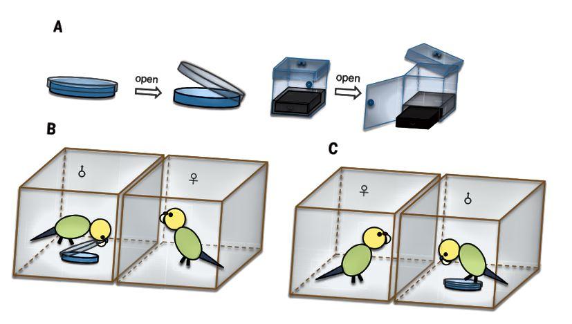 Fig. 1. Progettazione della fase di osservazione. (A) Dispositivi per la risoluzione dei problemi: la capsula di Petri e la scatola in tre fasi. (B) Una femmina focale che osserva un maschio addestrato che apre la capsula di Petri. (C) Una femmina focale che osserva un maschio non addestrato che tenta di aprire il piatto senza successo. (Doi: 10.1126 / science.aau8181)