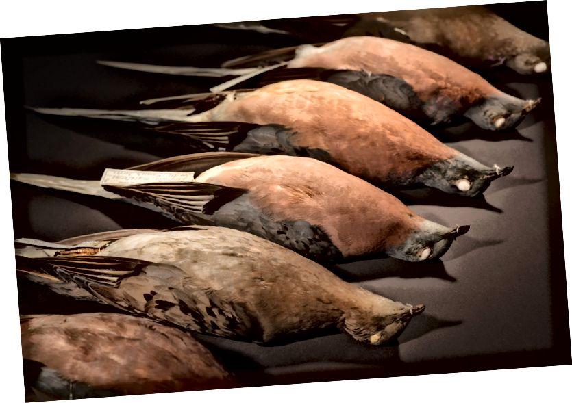 Putnički golubovi (Ectopistes migratorius), muzejski primjerci. (Doi: 10,1126 / science.aao0960)