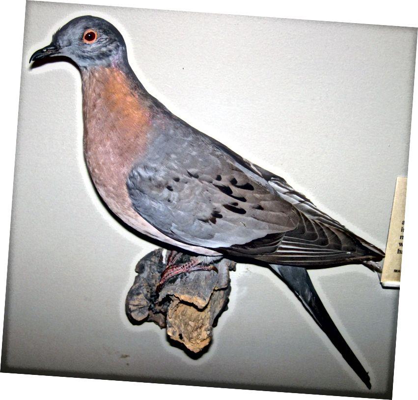Odrasli muški putnički golub (Ectopistes migratorius; Linnaeus, 1766). Ova vrsta izumire. (Mount, pomalo izblijedio, javni prikaz, Prirodoslovni muzej polja.) (Prilog: James St. John / CC BY 2.0)