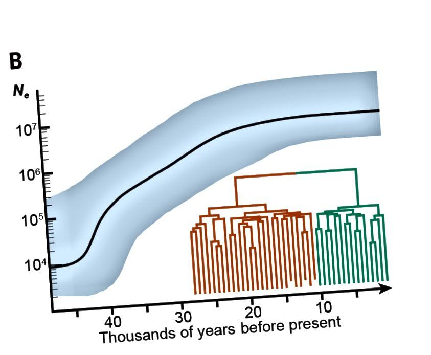 Sl. 1B. Procjena efektivne veličine (Ne) populacija golubova iz mitohondrijskih genoma. Navedeno Ne (plavo sjenčanje ukazuje na 95% intervala HPD-a) i mitohondrijsku filogeniju iz Bayesove koalescentne analize. Boje u umetku (Slika 1A) odgovaraju filogeniji u (Slika 1B). Struktura filogenije nije u korelaciji s geografijom, što je u skladu s nepostojanjem geografske strukture stanovništva. (Doi: 10,1126 / science.aao0960)