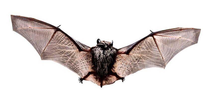 El ratpenat marró, Myotis lucifugus, menja més mosquits en un dia que no pas a la vida.