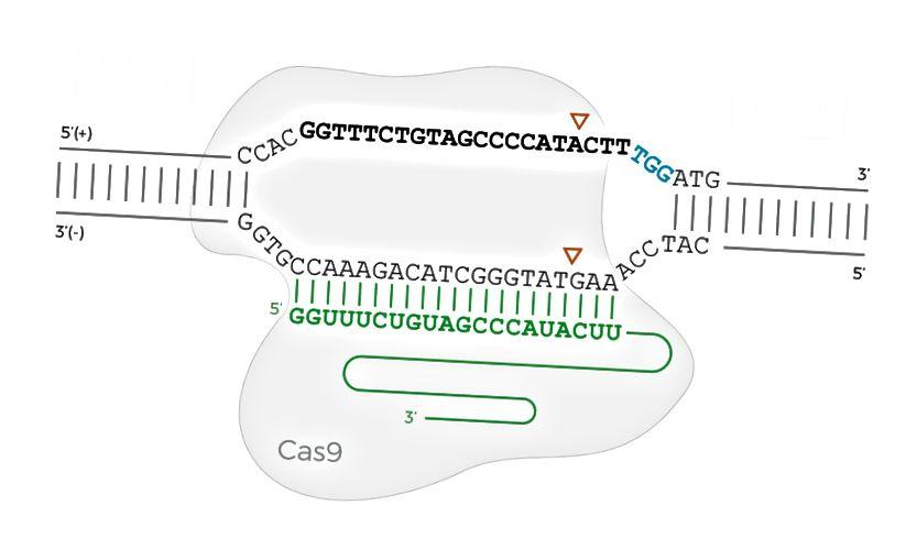 Das Cas9-Protein, das an die DNA gebunden ist, wenn sich die PAM-Sequenz auf dem vorderen (oberen) Strang befindet. Die fette Sequenz ist die Zielsequenz, die grüne Sequenz ist die sgRNA und die drei blauen Zeichen sind die PAM. Die Dreiecke zeigen, wo Cas9 die DNA schneidet.