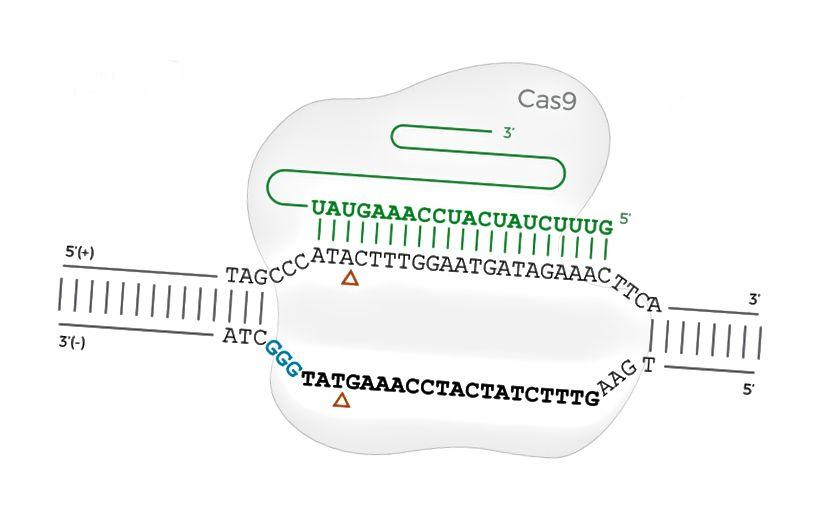 Das Cas9-Protein ist an eine DNA-Sequenz gebunden, wenn sich die PAM-Sequenz auf dem umgekehrten (unteren) Strang befindet.