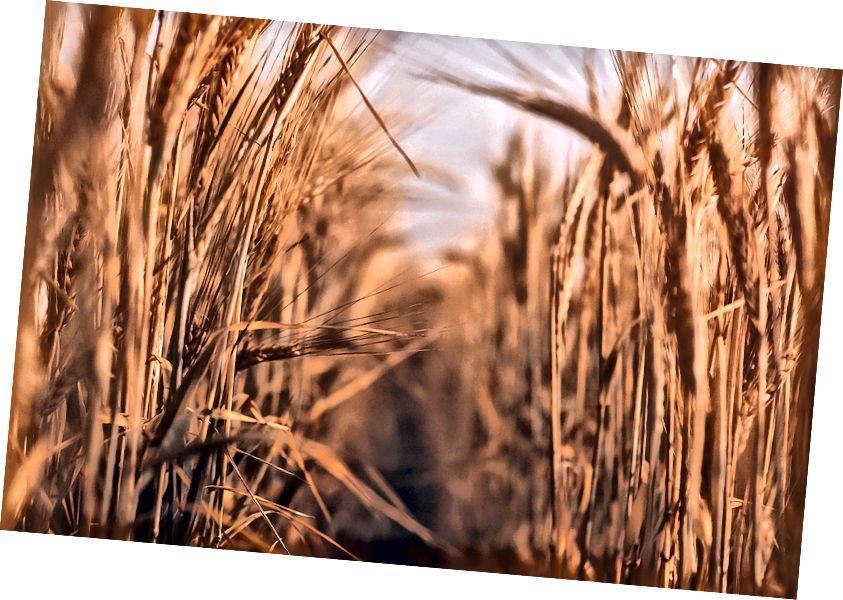 """""""Ladang gandum coklat pada siang hari"""" oleh Artur Nasyrov di Unsplash"""