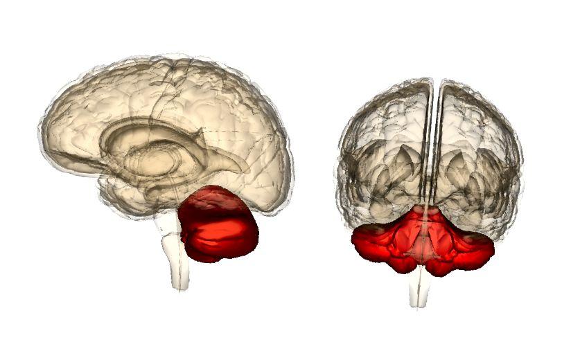 A kisagy oldal- és elülső nézeteiben, az élettudományi adatbázisok (LSDB) által fenntartott anatómográfia alapján