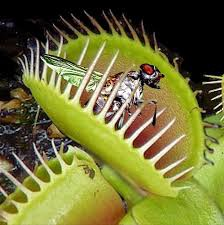 Muha iz Venere je mesožderka biljka koja se prvenstveno goji insektima i paukovima.