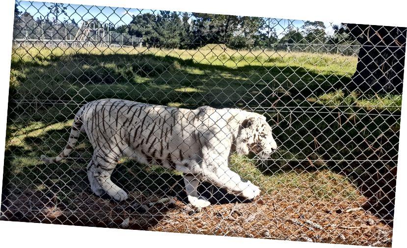 Bijeli tigar kojeg sam sreo u svetištu divljih životinja Jukani u travnju 2019. Izgleda veličanstveno, ali pati.