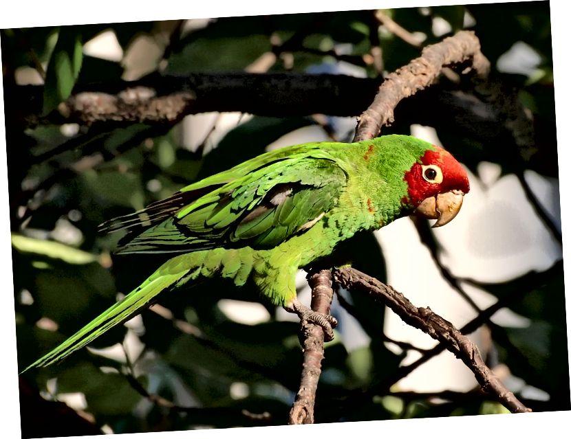 Un parrocchetto selvaggio in maschera rossa, Psittacara erythrogenys, a San Francisco. Questo pappagallo di medie dimensioni, originario dell'Ecuador e del Perù, è stato importato in gran numero dal commercio di animali domestici decenni fa. (Credito: Ingrid Taylar / CC BY 2.0)