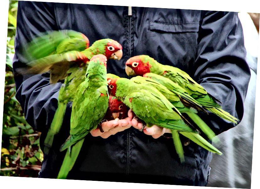 Le persone stavano male ai pappagalli di Telegraph Hill dando loro da mangiare troppo cibo spazzatura? (Credito: Daniel Gies / CC BY-NC-ND 2.0)
