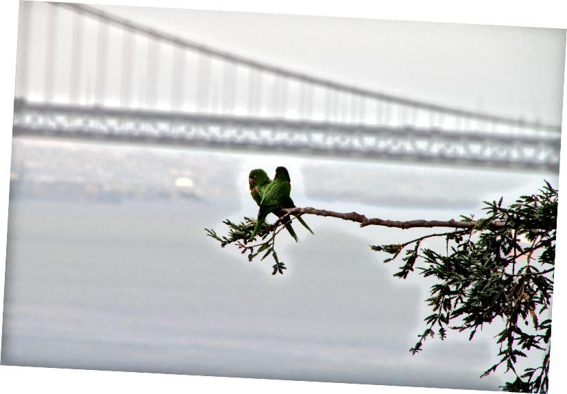 Una piccola famiglia di pappagalli selvatici con il Golden Gate Bridge sullo sfondo. (Credito: Daniel Gies / CC BY-NC-ND 2.0)