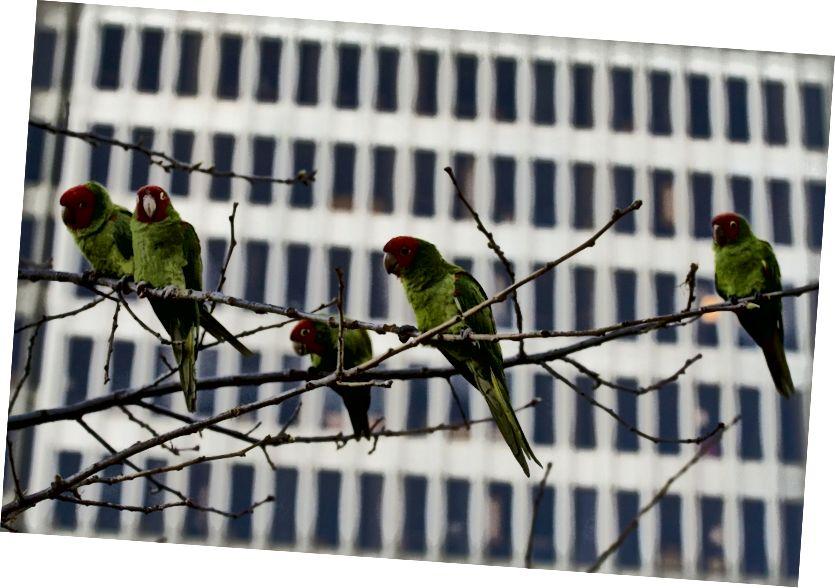 Wilde Papageien in San Francisco. (Bildnachweis: Eliya / CC BY 2.0)
